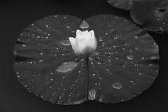 莲花特写镜头在早晨安静的湖开花 图库摄影
