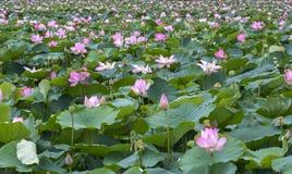 莲花特写镜头在早晨安静的湖开花 免版税库存图片