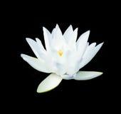 莲花白色 免版税图库摄影
