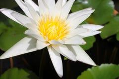 莲花的秀丽 免版税库存图片