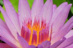 莲花的花粉。 库存图片