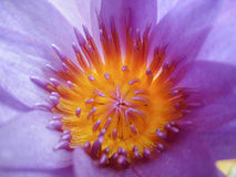 莲花的花粉 库存照片