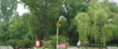 莲花的Seedpod在河在夏天 库存图片