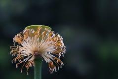 莲花的Seedpod 免版税图库摄影