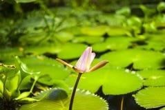 莲花的Unblown芽在长得太大的池塘被弄脏的背景的  免版税库存照片