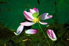 莲花种子和瓣 免版税库存照片