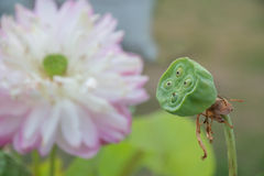 莲花种子荚茎在水池站立 免版税库存图片