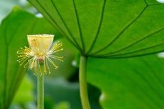 莲花种子荚 图库摄影
