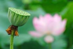 莲花种子荚 免版税图库摄影