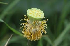 莲花种子 库存图片