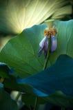 莲花种子 库存照片