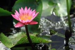 莲花粉红色 图库摄影