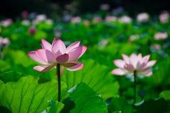莲花粉红色 免版税图库摄影