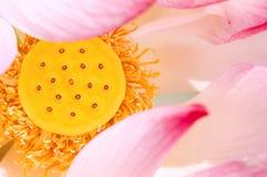 莲花粉红色 免版税库存照片