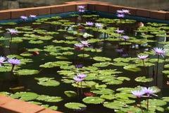 莲花紫色 库存图片