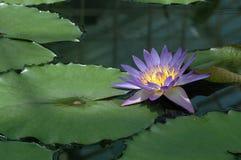 莲花紫色 免版税库存照片