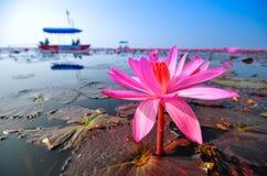 莲花红色和游人 库存图片