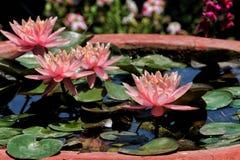 莲花绽放在一个晴朗的夏日 库存照片