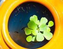 莲花绿色叶子在与很多色彩艳丽的胎生小鱼的水中浮动 它在是明亮的橙色颜色的一个大瓶子的` s 免版税库存图片