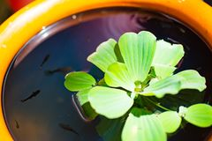 莲花绿色叶子在与很多色彩艳丽的胎生小鱼的水中浮动 它在是明亮的橙色颜色的一个大瓶子的` s 免版税库存照片