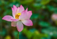 莲花美妙地开花有绿色背景 免版税库存照片