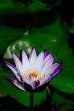 莲花背景 库存图片