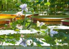 莲花自大维多利亚似亚马逊百合背景的温室开花  库存照片