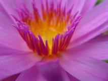 莲花花粉 库存照片
