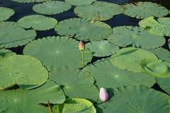 莲花芽和瓣 免版税库存照片