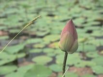 莲花芽& x28; flower& x29; 库存照片
