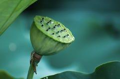 莲花荚用水 库存照片