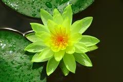 莲花黄色 库存照片