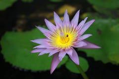 莲花,叶子莲花 库存照片
