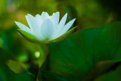 莲花,开花,在它的叶子中 库存照片