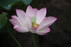 莲花,花,桃红色,百合,水 免版税图库摄影