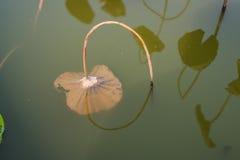 莲花离开干燥种植园池塘 免版税库存图片