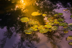 莲花离开或日落反射天空和树 库存照片