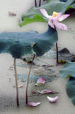 莲花绽放和芽 免版税库存图片