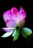 莲花绽放,在它打开了有黑暗的背景后 免版税库存照片