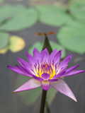 莲花;星莲属rubra; 水中女仙 库存照片