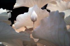 莲花(科学名字:莲属nucifera) 库存照片
