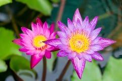 莲花紫色泰国 免版税库存图片
