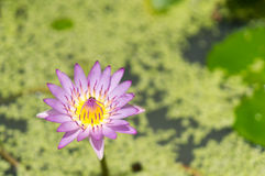 莲花紫色泰国 库存图片