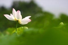 莲花 图库摄影