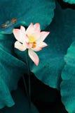 莲花 库存图片