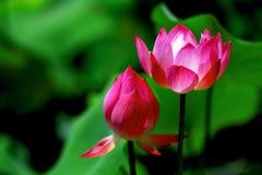 莲花 免版税库存照片