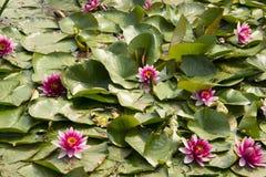莲花;lotos;荷花;candock;nenuphar; 免版税库存图片