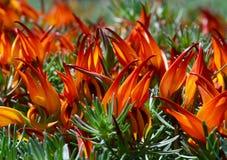 莲花berthelotii鹦鹉的额嘴,鹈鹕额嘴,珊瑚宝石,莲花藤花是一种四季不断的植物地方病到加那利群岛 免版税库存图片