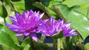 莲花bluelotus twinlotus自然背景 库存照片