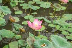 莲花fowers在Ubud巴厘岛 免版税库存图片